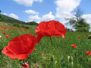 Poppies in Umbria